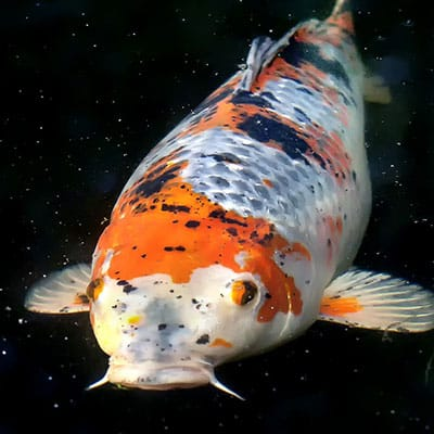 A very large and healthy koi in a pond with proper water quality