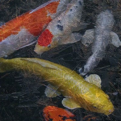 Several koi in a pond during the winter