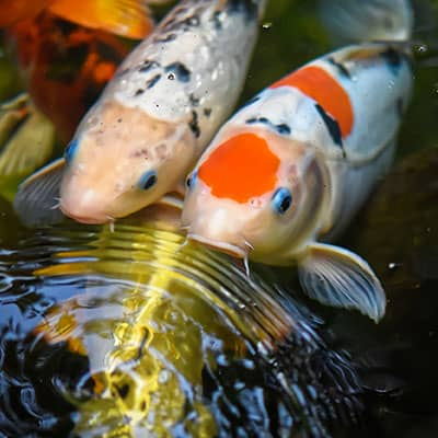 Two koi looking at and recognizing their owner