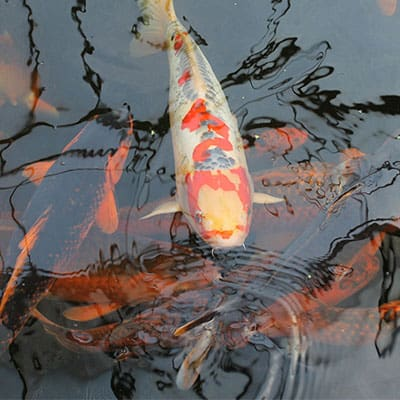 an example of several koi that are more outgoing at the surface of the pond and several shyer ones deeper in the water