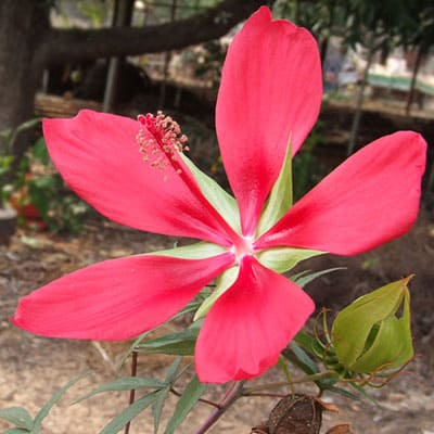 A mature hibiscus coccineus with a red flower and green buds