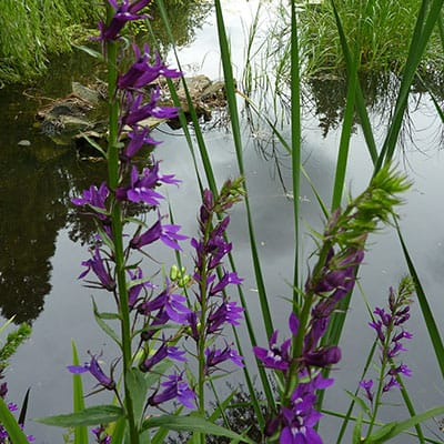 several lobelia vedrariensis blooming in a pond with cattails and sedges