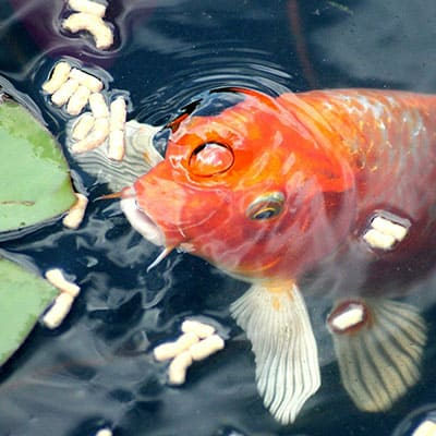 A koi being fed quality pellets in the same spot each day