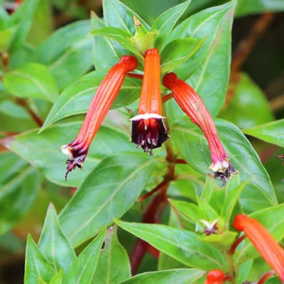 Non-toxic cigar plant with flowers