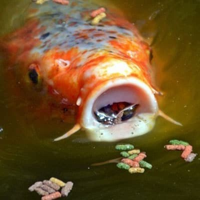 Koi that has displaying flashing behavior, potentially due to nutrient-deficient pellets