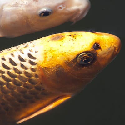 Close up of koi fish scales to calculate age