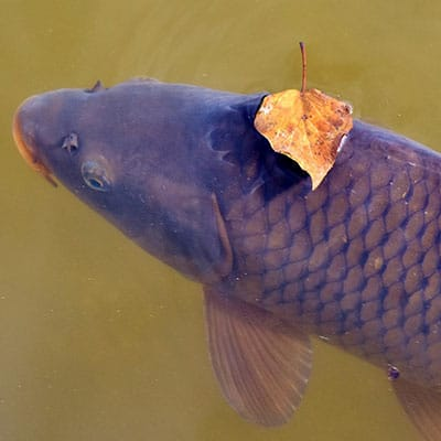 Wild common carp in natural environment threatened by human activities