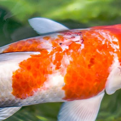 Koi carp with mild sunburn
