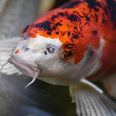 Healthy adult taisho sanke koi in clear pH balanced pond water