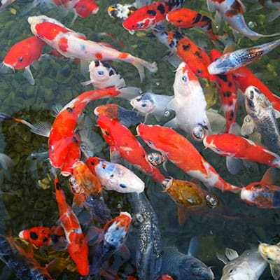 Many different healthy koi carp varieties in a well maintained pond