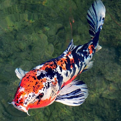 Expensive and beautiful white, black, and orange koi with great bloodline
