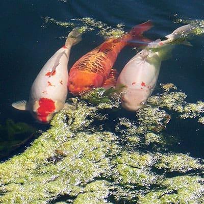 Adult koi carp eating algae and keeping pond water clean