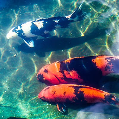 Several adult koi feeding in the sediment at the bottom of a healthy pond