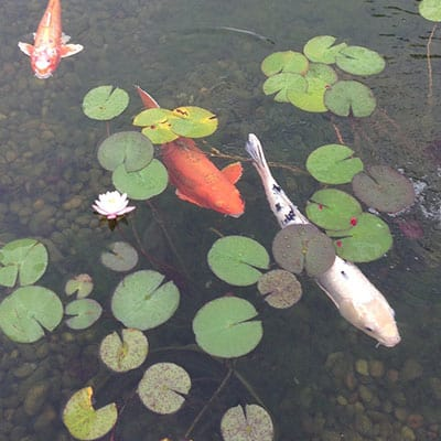Several koi carp not interested in eating lily pads growing in a pond