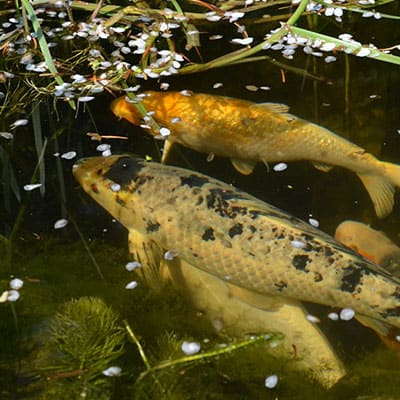 Two koi displaying flashing behavior in water that needs to be cleaned