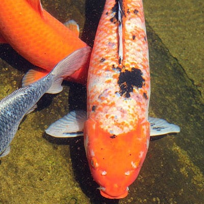 A koi with mild sunburn may flash for temporary relief