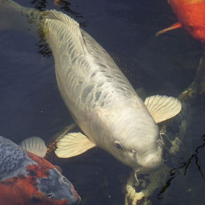 A very large silver koi in a pond that is an appropriate temperature