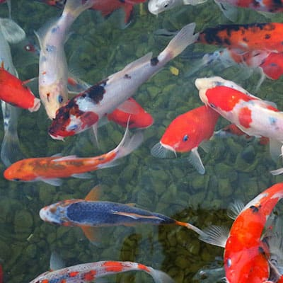 Many koi in clean, properly balanced water