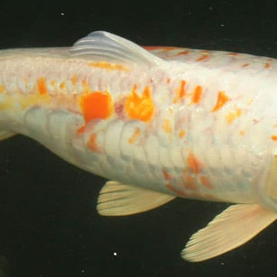 A koi with mild sunburn that has become uninterested in eating