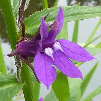 a purple lobelia blooming in a garden pond
