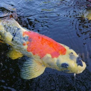 A white, black, and orange koi swimming at the surface of a pond