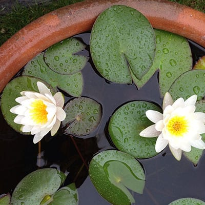 Dwarf water lilies in a container pond