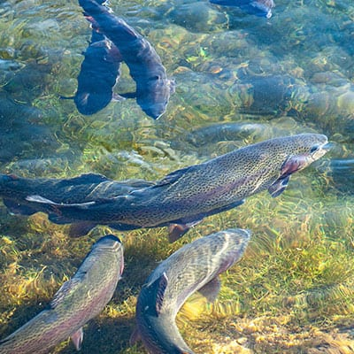 Stock tank heaters can harm fish, and shouldn't be used in fish ponds