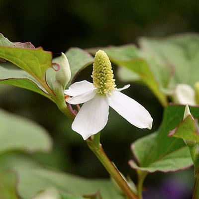 White flower of chameleon plant with terminal spike