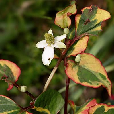 Colorful chameleon plants attract pollinators and provide cover for fish