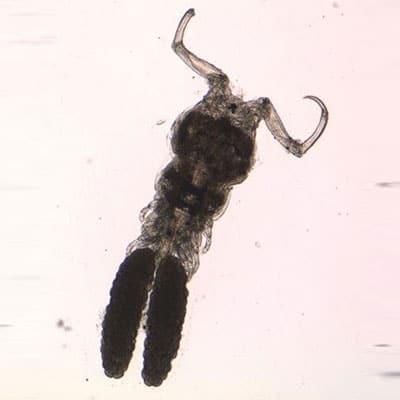 Ergasilus gill maggot in fish pond