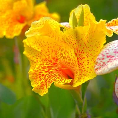 Golden lucifer canna lily with yellow and red speckled flowers