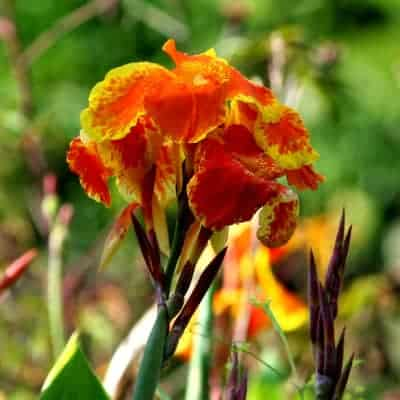 Red and yellow canna lily canna cleopatra