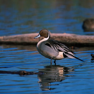 duck northern pintail feeds on water clover