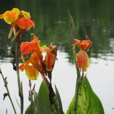 Red, yellow, and orange canna lilies growing beside a pond