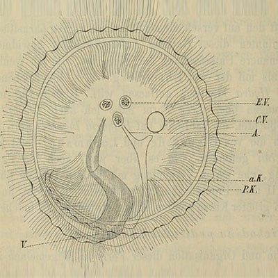 Dissection drawing of trichodina parasite