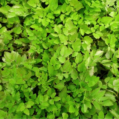 Pond filtration and oxygenation variegated water celery
