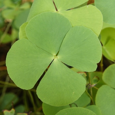 Marsilea water clover for pond water filtration