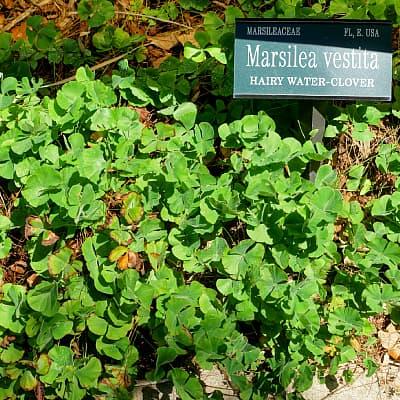 how to grow water clover marsilea vestita