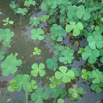 Marsilea quadrifolia water clover growing in a pond