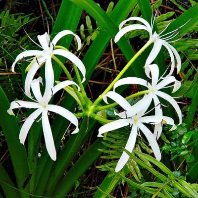 Pond plants bog lily crinum americanum