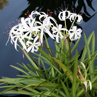 bog lily growing in a fish pond