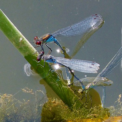 How to attract damselflies to ponds damselfly nymph