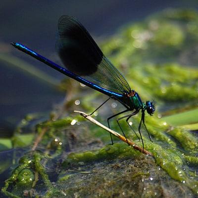Jewelwing damselfly diet, habitat, benefits pond