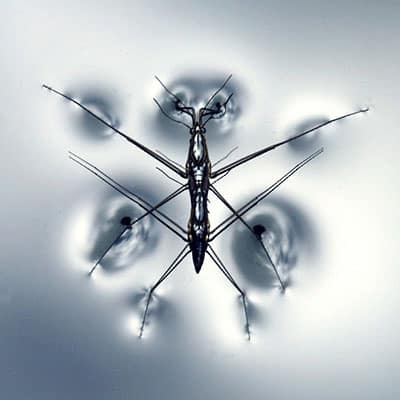 picture showing a water strider walking on water