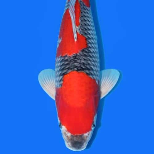 goshiki koi breed