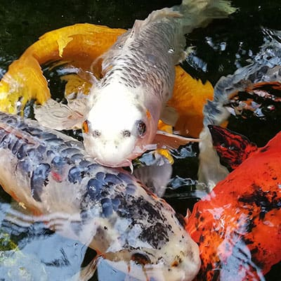 Koi in a pond benefit from a balanced diet
