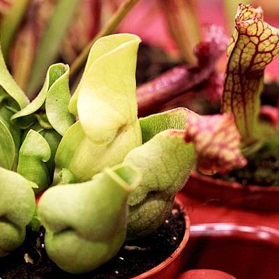 Trumpet pitcher pitcher plant pond care