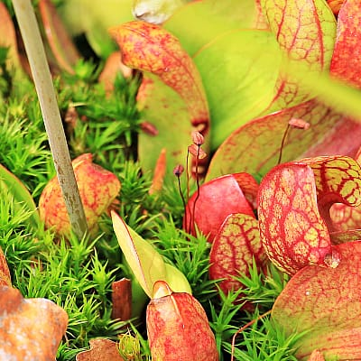 How to plant trumpet pitchers around ponds