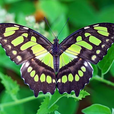 malachite butterfly spider lily garden pond