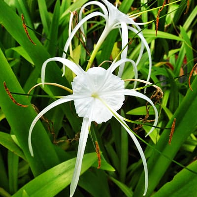 Spider lily flower with green eye and anthers